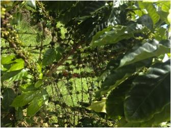 """El café en este tipo de árbol madura parejo, pero el arbusto """"sufre"""" con el uso de las máquinas, según el torrefactor Pedro Maldonado, encargado del Museo del Café en Ciales. (Foto por Heidee Rolón)"""