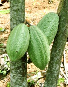 La finca Jeanmarie Chocolat, en Aguada,  cosecha cada 25 días la fruta, especificó el agricultor Juan Echevarría.  (Suministrada/ Jeanmarie Chocolat)