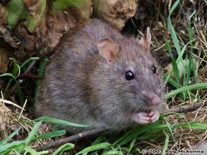 Foto tomada de www.drosophila.es Rata (Rattus norvegicus) y ratón común (Mus musculus): Introducidos accidentalmente esta especie destruye nidos de aves incluyendo los artificiales provistos para la recuperación de la cotorra puertorriqueña y son portadores de rabia.