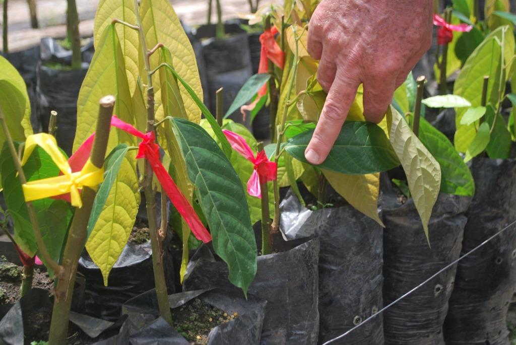 El injerto del cacao es el método reproducción que utilizan los agricultores del fruto en la Isla, detalló Juan Echevarría. (Tomada de http://produccionagricolajre2013.blogspot.com/)