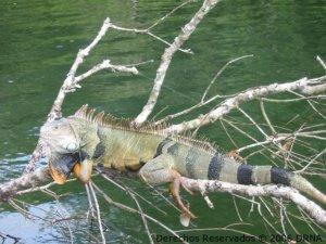 Foto tomada del archivo del DRNA. Gallina de palo o iguana verde (Iguana iguana): La hembra de esta especie puede poner un promedio de 35 huevos por año y en ocasiones se alimentan de pichones de aves que aun no están listos para volar.