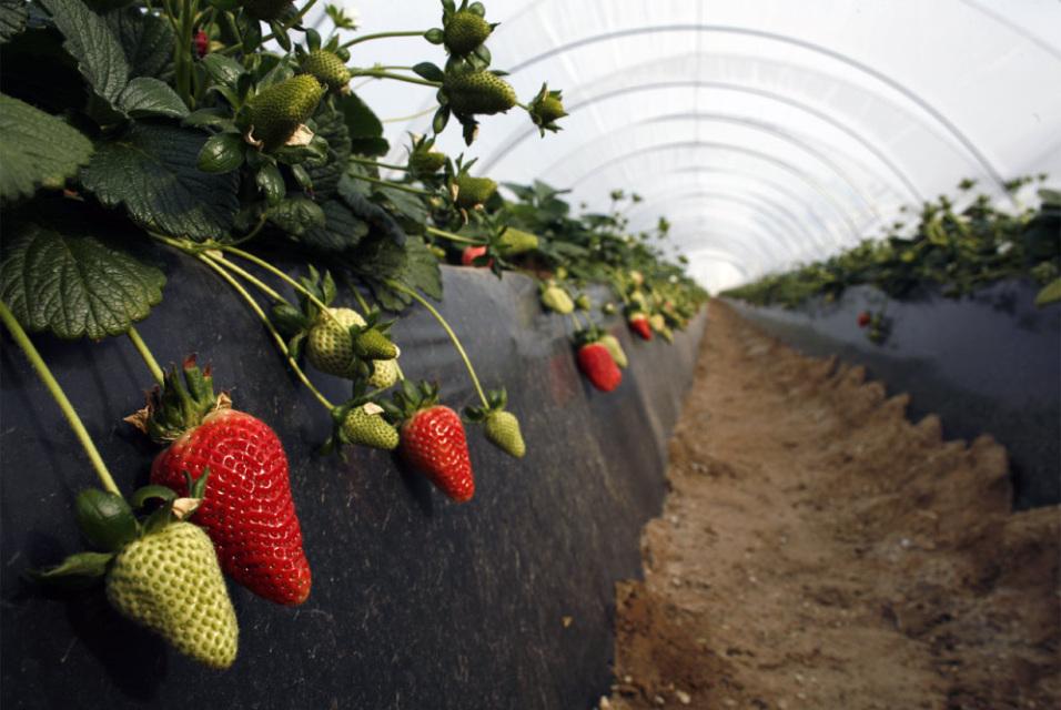 Crece siembra de frutos no tradicionales en puerto rico redipr - Fresas para piedra ...