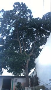 Santos aseguró que los árboles de aguacate dieron menos frutos debido a la sequía.