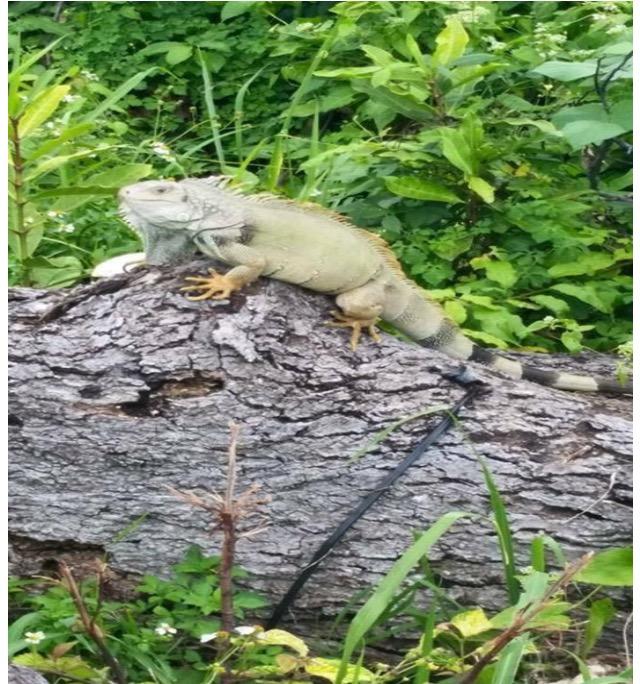 Una iguana verde trepa una rama en el terreno de Mariela López Ramos.